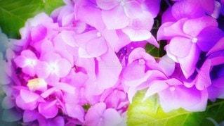 紫陽花の光化粧の写真・画像素材[3377994]