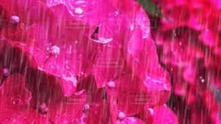 雨の中の紫陽花の写真・画像素材[3377999]
