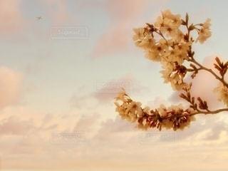 見送る桜の写真・画像素材[3401250]