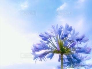 アガパンサス青紫の写真・画像素材[3415895]