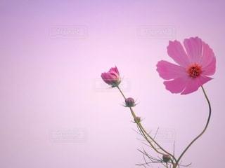 ピンクコスモス 夏咲きの写真・画像素材[3415893]