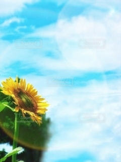 太陽と向日葵の写真・画像素材[3494971]