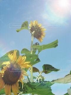 夏休みのハイキングと向日葵と夏空との写真・画像素材[3494976]