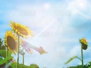 陽射しと向日葵の写真・画像素材[3495009]