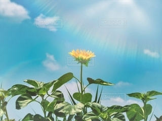 向日葵の主張の写真・画像素材[3502817]