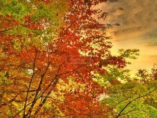 燃ゆる紅葉の写真・画像素材[3800906]