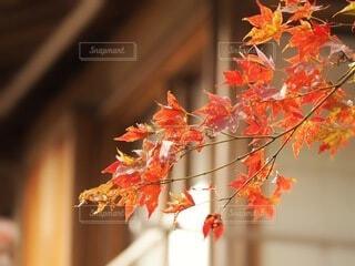家に紅葉の写真・画像素材[3800928]