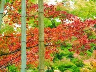 燃ゆる紅葉の竹林の写真・画像素材[3801044]
