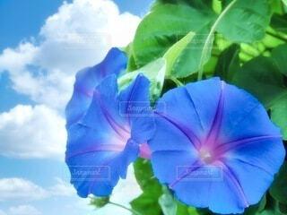 朝顔の夏休みの写真・画像素材[4009521]