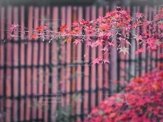 紅葉 しっとり楓の写真・画像素材[4009527]
