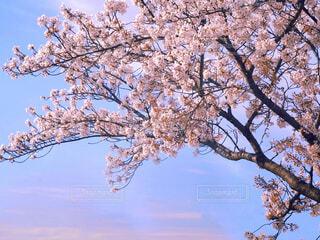 満開の桜 ソメイヨシノの写真・画像素材[4240996]