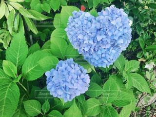 自然,花,緑,ハート,紫陽花,梅雨
