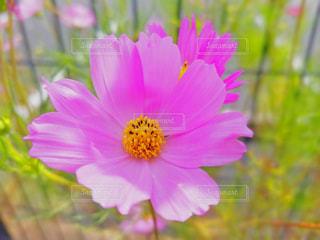 花,ピンク,植物,コスモス,草木