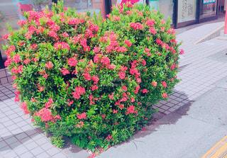花,屋外,ピンク,植物,カラフル,鮮やか,ハート,道,歩道,明るい,草木,縁石