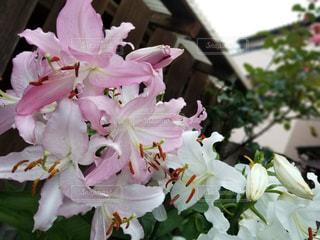 花,ピンク,pink,ユリ