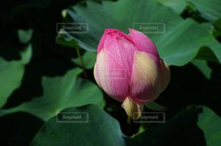 花,ピンク,つぼみ,蓮