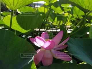 花,ピンク,蓮の花