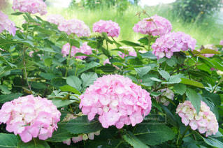 花,ピンク,紫陽花,千葉,紫陽花道路,あじさい通り