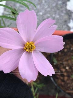 花,ピンク,植物,コスモス,沖縄