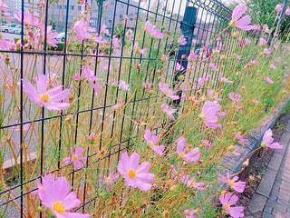 花,ピンク,植物,コスモス,千葉県,平成小学校前