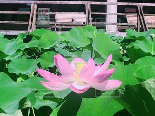 ピンク,植物,池,蓮の花,千葉公園