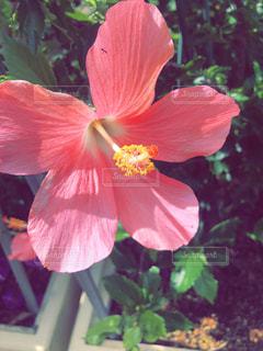 花,ピンク,植物,ハイビスカス,沖縄