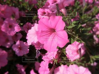 花,ピンク,植物