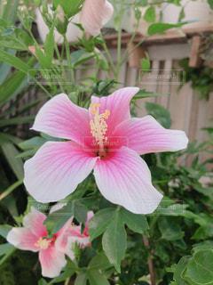 花,ピンク,植物,カラフル,ハイビスカス,沖縄,鮮やか