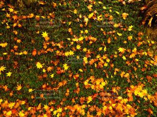 紅葉,屋外,草,地面,草木,永源寺
