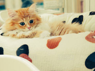 くつろぎ猫の写真・画像素材[1626747]