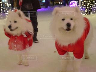 犬,冬,雪,屋外,赤,白,北海道,観光,クリスマス,サンタ,札幌,ホワイト,冷