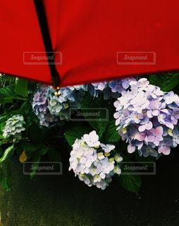 赤い傘を持つ植物の写真・画像素材[2218260]