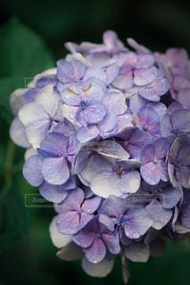 自然,公園,花,木,雨,傘,東京,緑,紫陽花,梅雨