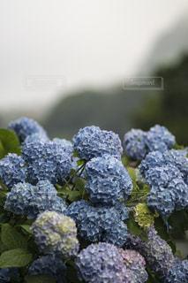 自然,花,雨,緑,紫陽花,梅雨