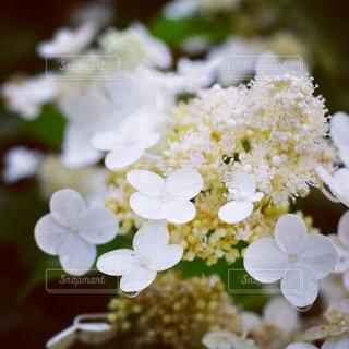 花,雨,白,紫陽花,梅雨,6月