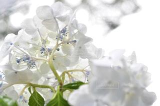雨,白,紫陽花,日本,梅雨,6月,四季,草木,インスタ映え