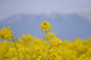 自然,風景,花,屋外,菜の花,山
