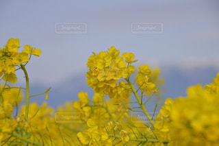 自然,公園,花,屋外,黄色,菜の花