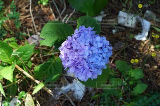 紫,水色,紫陽花,グラデーション