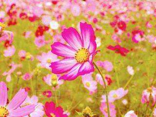 国営昭和記念公園のコスモスの写真・画像素材[1454672]