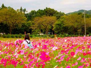 コスモス畑,国営昭和記念公園