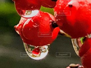自然,雨,屋外,ナンテン,水滴,景色,実,雫,赤色,草木,露玉