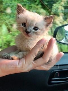 手のひらサイズの子猫の写真・画像素材[2703294]