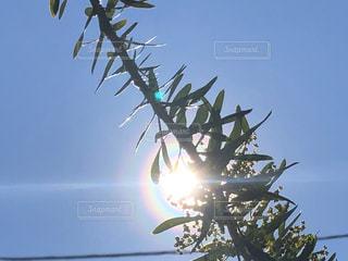空,太陽,光,樹木,草木,花粉光環,ポーレンコロナ