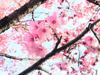 春,屋外,ピンク,枝,鮮やか,樹木,桜の花,さくら,陽光桜