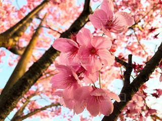 花,春,ピンク,樹木,草木,桜の花,さくら,陽光桜