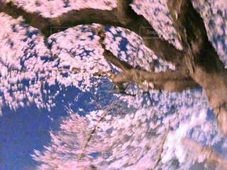 花,ピンク,散歩,夜桜,満開,樹木,日本,春爛漫,さくら