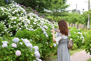 紫陽花綺麗に撮れるかなの写真・画像素材[1261252]