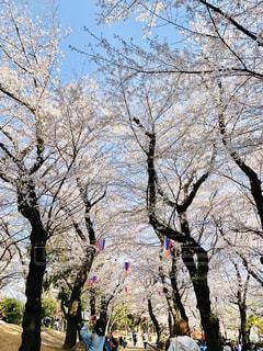 飛鳥山公園の桜の写真・画像素材[3033592]