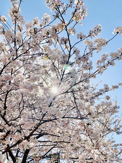飛鳥山公園の桜2の写真・画像素材[3033601]